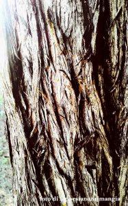 ombre di una corteccia d'albero (cipresso)