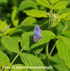 farfalla azzurra hccrdbsvfcjpg